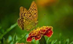 Drømme om sommerfugl: Drømmetydning, Drømmesymboler