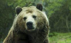 Drømme om Bjørn: Drømmetydning, Drømmesymboler