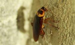 Drømme om kakerlak: Drømmetydning, Drømmesymboler